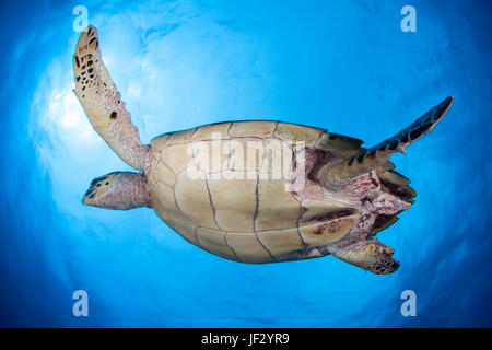 A Hawksbill sea turtle swims in the clear, blue water of the Caribbean Sea off the coast of Belize. This is an endangered - Stock Photo