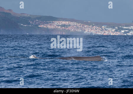 Female Sperm Whale, Physeter macrocephalus, or cachalot,surfacing with head showing, in front of Funchal, Madeira, - Stock Photo