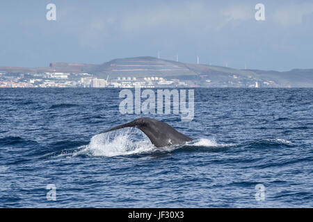 Female Sperm Whale, Physeter macrocephalus, or cachalot, fluking in front of Funchal, Madeira, North Atlantic Ocean - Stock Photo