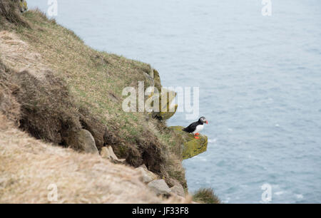 Puffin at Latrabjarg Bird Cliffs in West Fjords, Iceland - Stock Photo