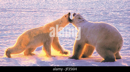 Female polar bear (left) attacks a large male in defense of her cub. Cape Churchill, Manitoba, Canada, polar bear - Stock Photo