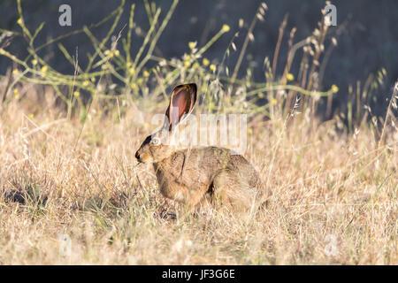 Alert Black-tailed Jackrabbit (Lepus californicus) Camouflaged. - Stock Photo
