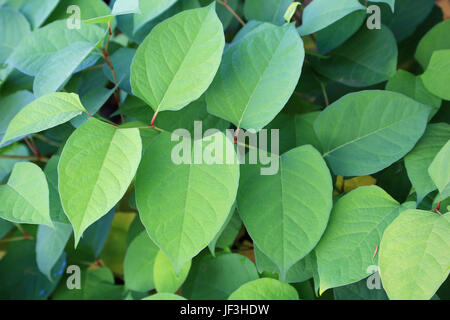 Japanese knotweed, reynoutria japonica