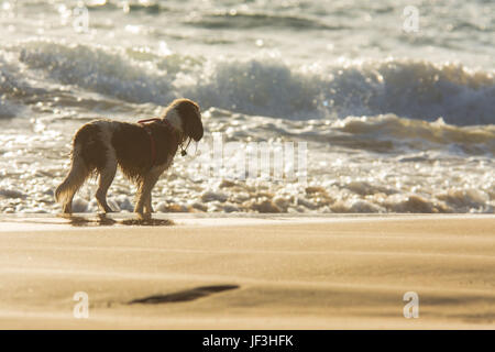 A dog looking out towards the ocean during late afternoon on the Hawaiian island of Maui. - Stock Photo