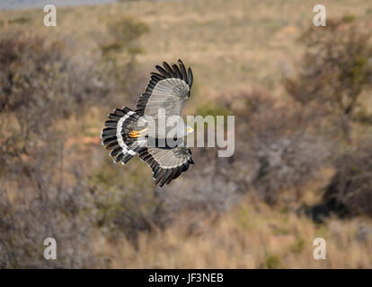 A Gymnogene in flight over Southern African savanna - Stock Photo