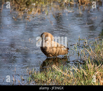 A Hamerkop bird standing in a pool in Southern African savanna - Stock Photo