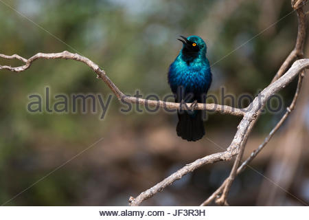 Portrait of a Cape glossy starling, Lamprotornis nitens, on a tree branch. - Stock Photo