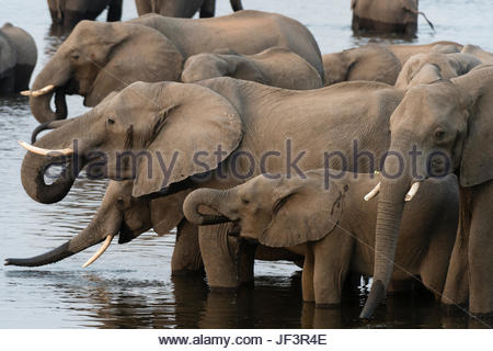A herd of African elephants, Loxodonta africana, drinking in the Chobe River. - Stock Photo