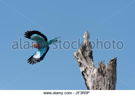 A lilac-breasted roller, Coracias caudatus, taking flight from an old tree snag. - Stock Photo