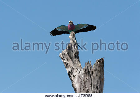 A lilac-breasted roller, Coracias caudatus, landing on an old tree snag. - Stock Photo