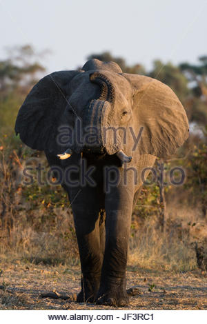 An African elephant, Loxodonta africana, lifting its trunk while smelling. - Stock Photo