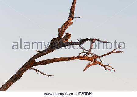 A leopard, Panthera pardus, resting in a tree top, warming up with the last rays of sun. - Stock Photo