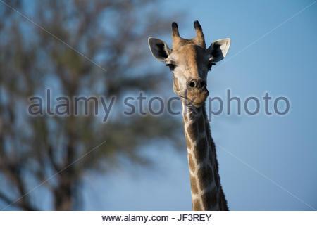 Portrait of a female southern giraffe, Giraffa camelopardalis giraffa, looking at the camera. - Stock Photo