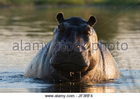 Portrait of an aggressive hippopotamus, Hippopotamus amphibius, in the water. - Stock Photo