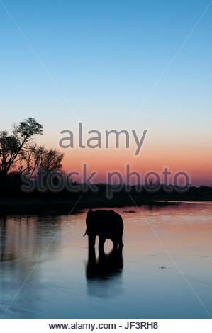 An African elephant, Loxodonta africana, drinking in the Khwai River at dusk. - Stock Photo