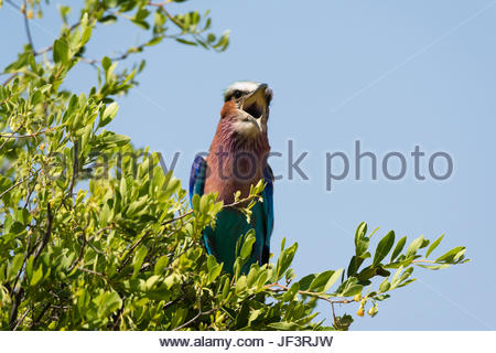 A lilac-breasted roller, Coracias caudatus, calling from a tree top. - Stock Photo