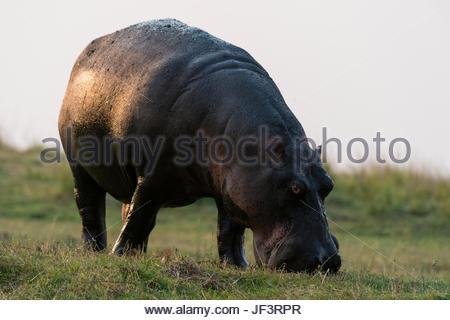 Portrait of a hippopotamus, Hippopotamus amphibius, grazing. - Stock Photo