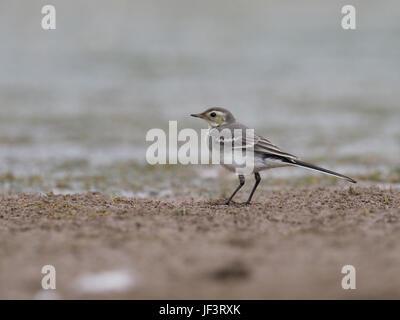 Pied wagtail, Motacilla alba, immature bird on mud, Warwickshire, June 2017 - Stock Photo