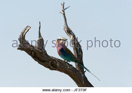 A lilac-breasted roller, Coracias caudatus, perching on a dead tree branch. - Stock Photo
