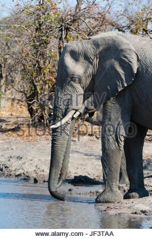 African elephants, Loxodonta africana, drinking at a waterhole. - Stock Photo
