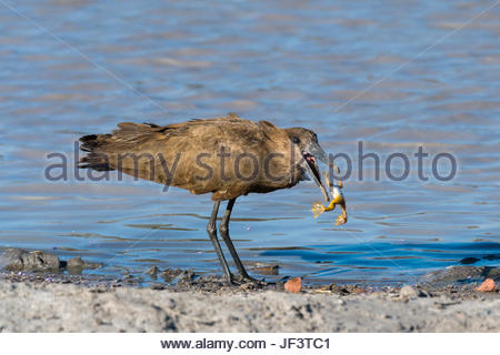 A hammerkop, Scopus umbretta, feeding on a frog. - Stock Photo
