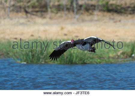 A spur-winged goose, Plectropterus gambensis, in flight over water. - Stock Photo