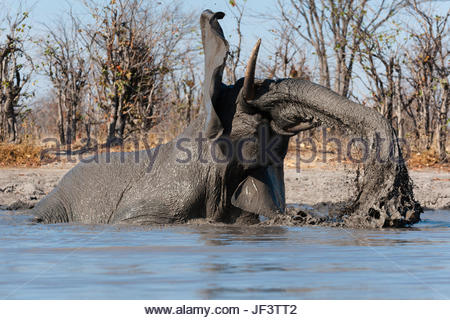 An African elephant, Loxodonta africana, mudding at a waterhole. - Stock Photo