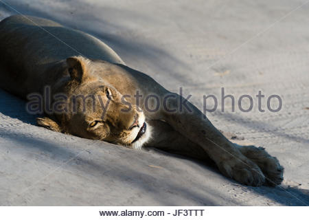 A lioness, Panthera leo, resting on the tracks left by a vehicle. - Stock Photo