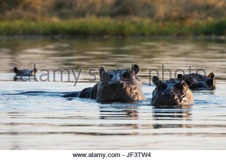 A group of alert hippopotamuses, Hippopotamus amphibius, in the water. - Stock Photo