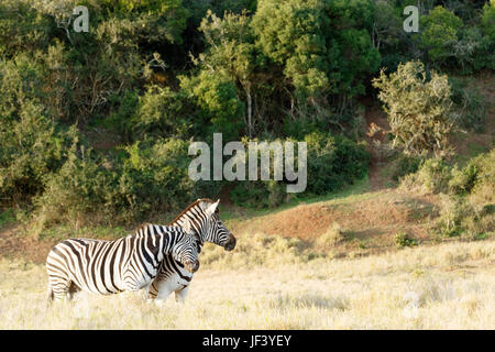 Two Zebra Rubbing some love on each other - Stock Photo