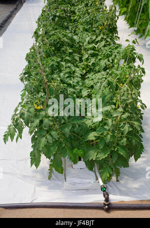 Hydroponic Cultivation of Tomato in Greenhouse - Stock Photo