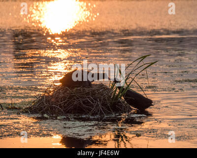 Silhouette of nesting Coots (Fulica atra) at sunset on golden pond - Stock Photo