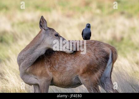 Grooming Red Deer female hind (Cervus elaphus) with  jackdaw on back Stock Photo
