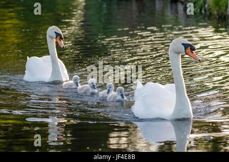 Mute Swan (Cygnus olor) adult and cute fluffy baby cygnets, swimming together on a sunny day - Stock Photo