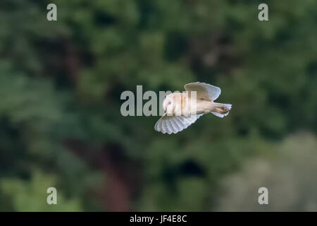 Side view of a single Barn Owl (Tyto alba) flying across green background - Stock Photo