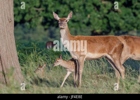Red deer (Cervus elaphus) female hind mother and young baby calf sticking close - Stock Photo