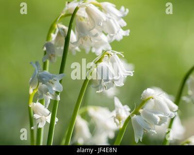 Bunch of White Bluebell bluebells flowers(species unknown) on green background - Stock Photo