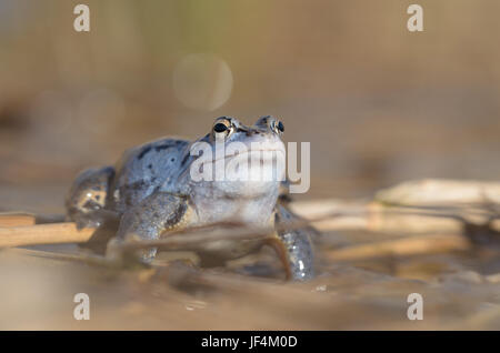 male Moor frog, Rana arvalis - Stock Photo