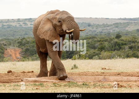 Bush Elephant climbing in the watering hole - Stock Photo