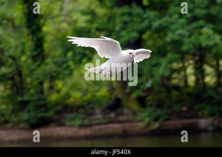 London, UK. 29th June, 2017. white pigeon in flight Credit: JOHNNY ARMSTEAD/Alamy Live News - Stock Photo