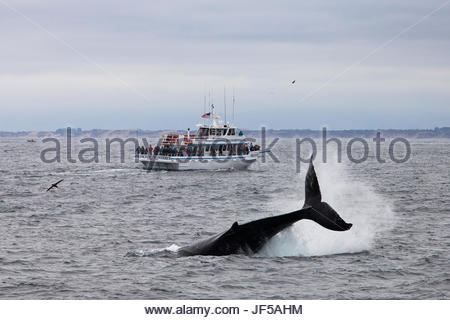 A humpback whale, Megaptera novaeangliae, flapping its tail with a whale-watching boat in the background. - Stock Photo