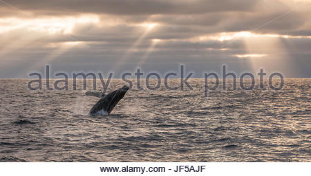 A humpback whale, Megaptera novaeangliae, breaching under rays of sunlight. - Stock Photo