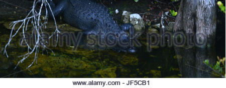 An american alligator in wetland. - Stock Photo