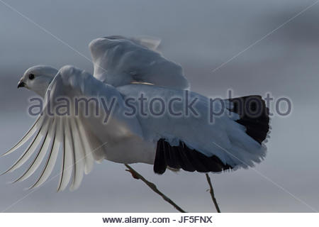 Portrait of a willow ptarmigan in its winter plumage. - Stock Photo