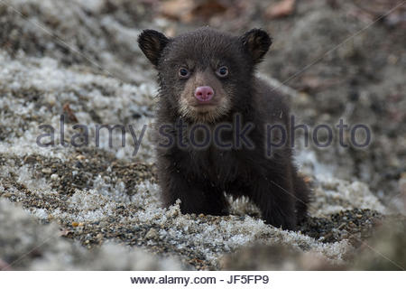 Portrait of a weeks-old black bear cub, out of its den for the first time. - Stock Photo