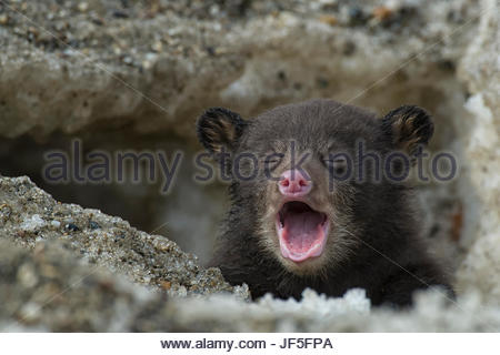 A weeks-old black bear cub crying as it comes out of its den for the first time. - Stock Photo