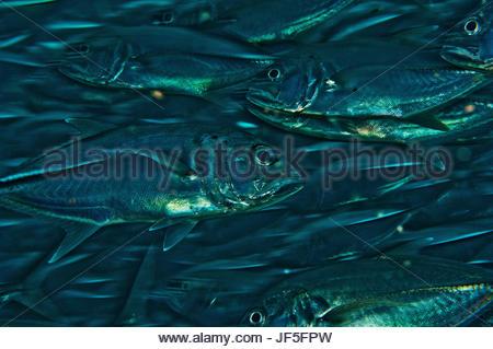 Schooling trevally jack fish swim in the waters off Sipadan Island. - Stock Photo