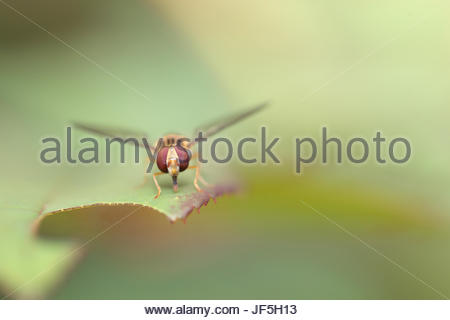 Portrait of a hoverfly, sometimes called flower flies or syrphid flies, they make up the insect family Syrphidae. - Stock Photo
