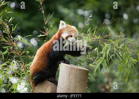A Red Panda at Birmingham Nature Centre. Birmingham host the IAAF Championships in 2018 and named their Mascot Ruby, - Stock Photo