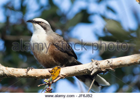 Grey-crowned Babbler (Pomatostomus temporalis) perched on a branch in an Australian park. - Stock Photo